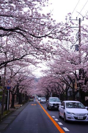 Kamakura Zushi Highland Cherry Blossom Trees