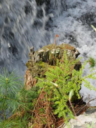 Dingmans Ferry, Πενσυλβάνια: The diversity of plants fed by a tree stump and the spray from the falls