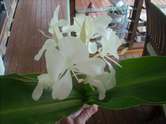 Cow Bay, Australia: Beautifully perfumed White Ginger