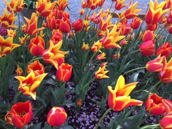 Mount Vernon, Etat de Washington : Firey Tulips
