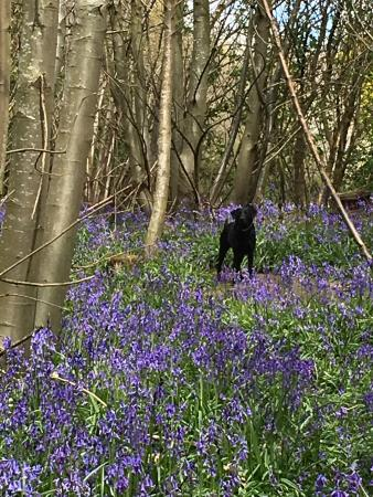 Sissinghurst Castle Farmhouse: Ruby in the bluebells