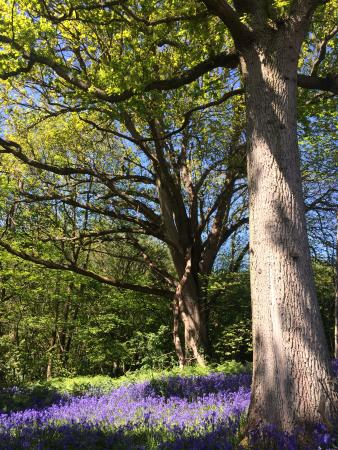 Sissinghurst Castle Farmhouse: The bluebell walk at Sissinghurst