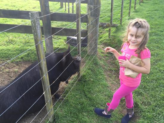 Warkworth, Nueva Zelanda: kids feeding the friendly pig