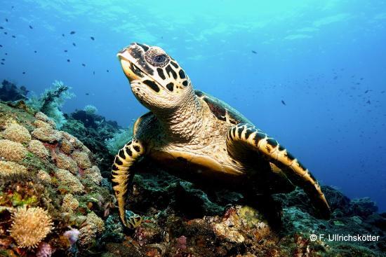 Tulamben, Indonesia: Karettschildkröte (Coral Garden)