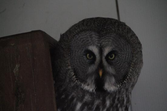 Large Grey Owl Picture Of Turbary Woods Owl And Bird Of Prey