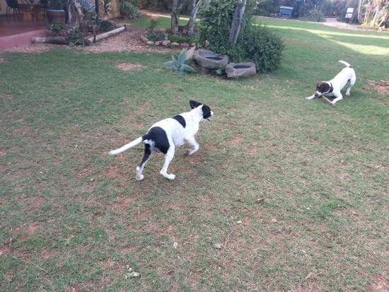 Addo, Sudáfrica: die Pointer-Hunde
