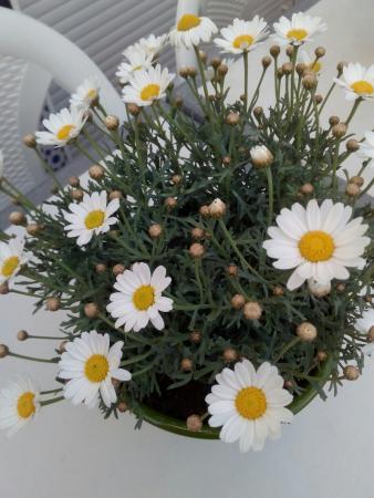 Sueña la margarita con ser romero... Disfrutando de las cruces de mayo