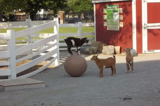 Lafayette, IN: Goats