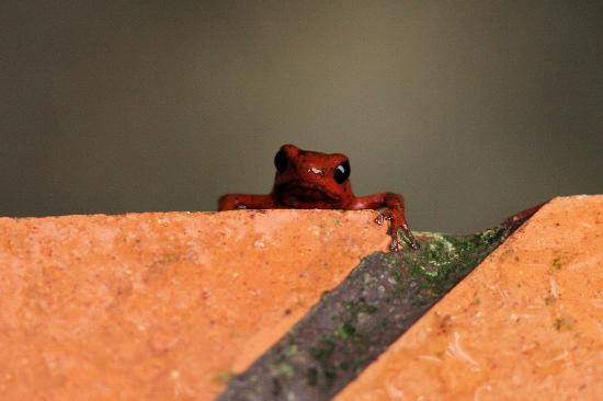 Punta Uva, คอสตาริกา: Dart frog peeking in the bathroom