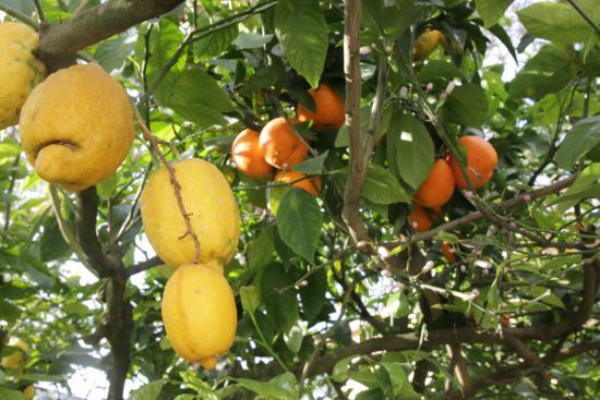 Villa Maresca: Les orangers du jardin transformés en citronniers