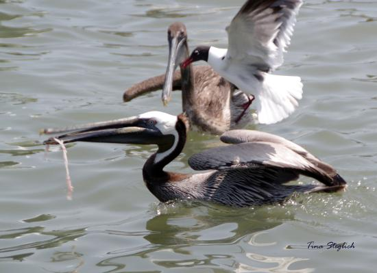Goose Island State Park: Brown Pelicans and Black Headed Gull all going for the same bite!