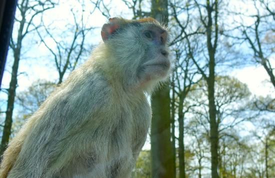 Woburn, UK: Monkey