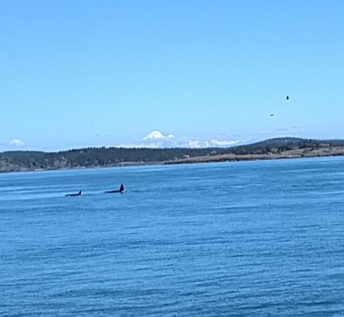 Island Adventures: Pod of Orcas