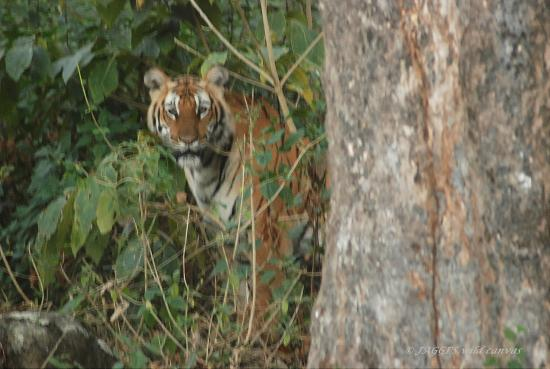 Yelandur, India: Tigress in the year 2006 in BR hills.