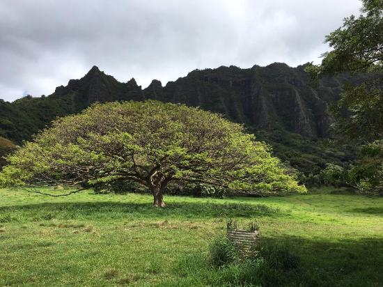 Kaneohe, HI: Majestic Trees all over