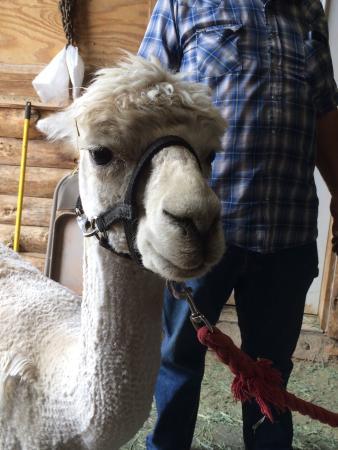 Kingman, Arizona: Alpacas of the Southwest