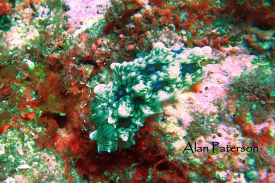 Tutukaka, Yeni Zelanda: Gem Nudibranch Look hard you will find them!