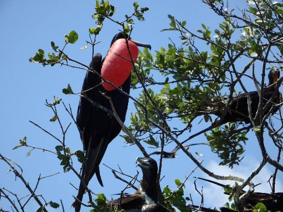 South Water Caye, Belize: Side Trip to Man O' War Caye to see the nesting Magnificent Frigate BIrds