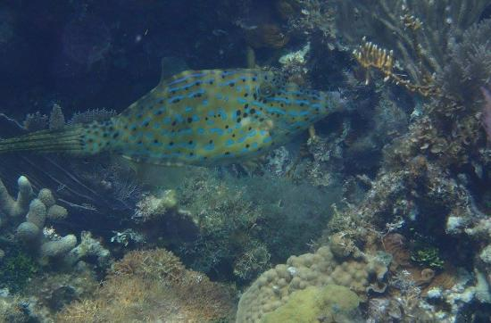 South Water Caye, Belize: The colorful and unusually-shaped Scrawled Filefish is a favorite find while snorkeling