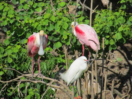 High Island, TX: Roseate Spoonbills and Snowy Egret