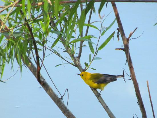 High Island, Τέξας: Prothonotary Warbler