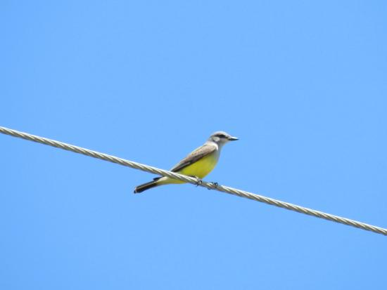 High Island, TX: Western Kingbird