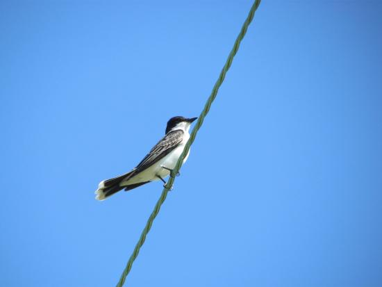 High Island, TX: Eastern Kingbird