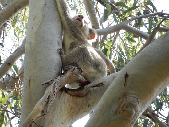 Noosa, Australien: Sleeping Koala