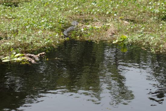DeLand, FL: Can you spot the Alligator?