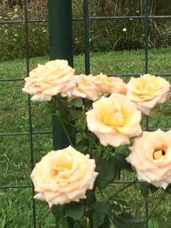 Auckland Botanic Gardens pink rose