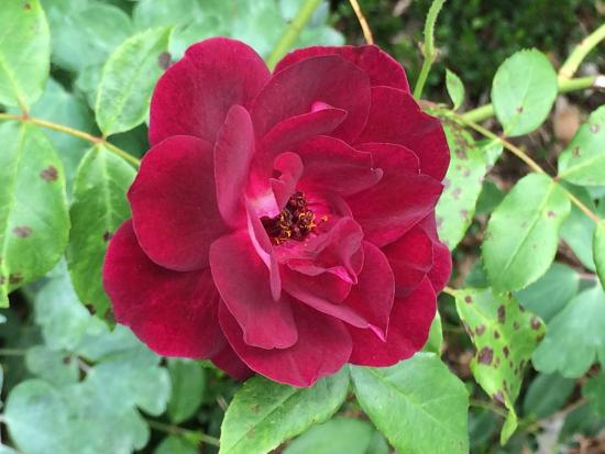 Auckland Botanic Gardens red rose
