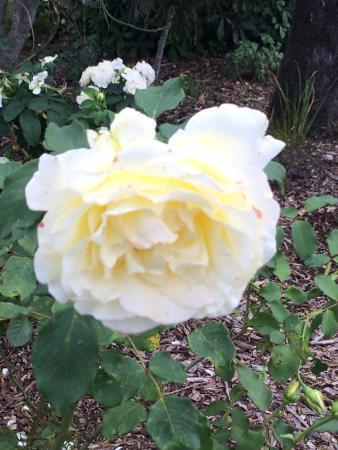 Auckland Botanic Gardens rose