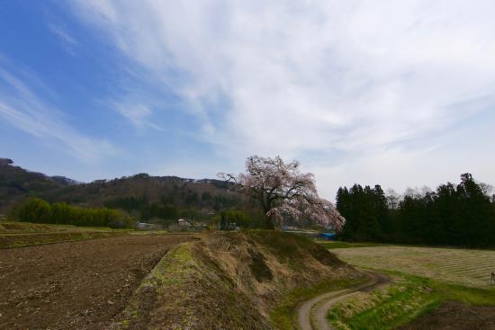 Kamihotchi Weeping Cherry Blossom