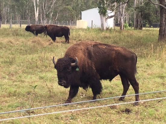 Myrtle Creek, Australia: Bison