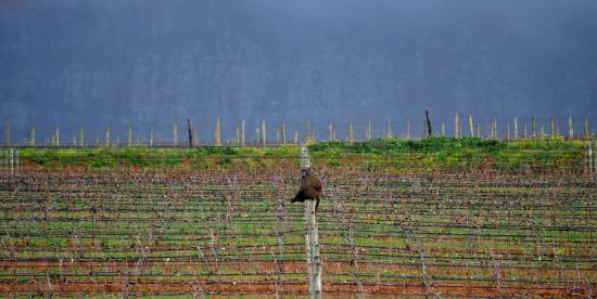 Happy Baboon sitting on some of the vineyards, Groot Constantia, Cape Town, South Africa