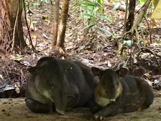 Braulio Carrillo National Park, Kostaryka: Wild baby tapir and her mama