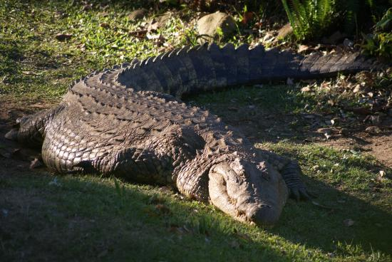 0a88a1aa9a50cf beady eyed - Picture of Riverbend Crocodile Farm