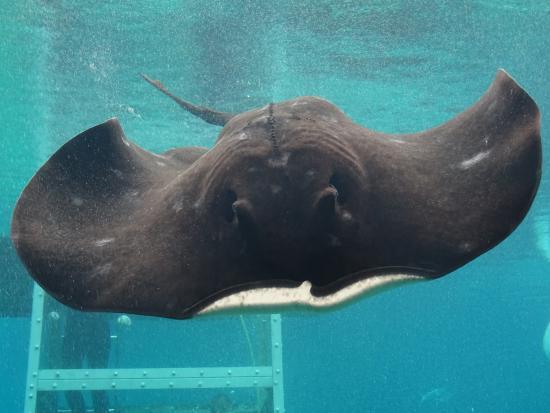 เมนบีช, ออสเตรเลีย: Ray in the shark pool viewing area