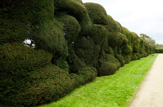 Montacute Topiary hedging