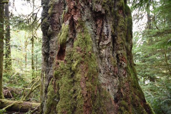 Nanaimo, Canadá: Massive Size Tree