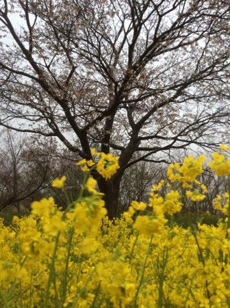 Ogata-mura, Japón: 菜の花ロード