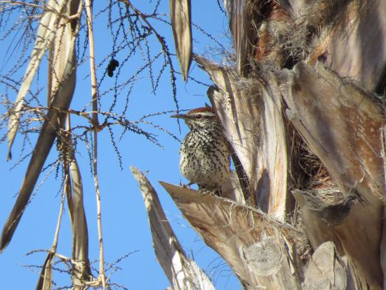 Serendipity: Cactus Wren (From Pool Area)