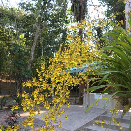 Cayo, Belice: an enormous oncidium orchid in full bloom next to the parking lot