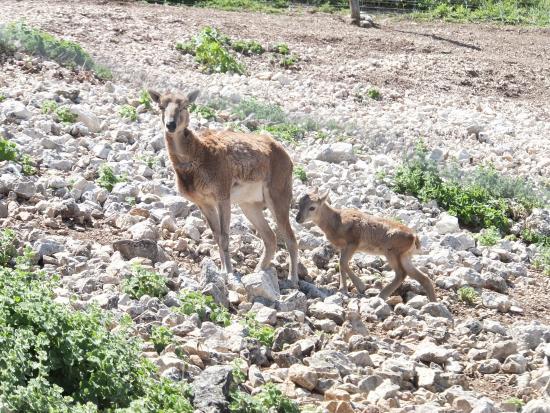 Zuheros, Spanje: Mouflon et son petit