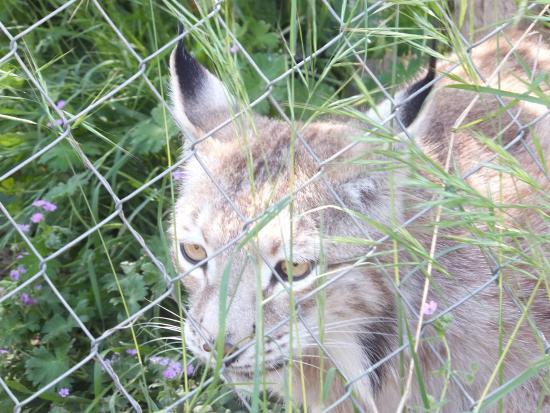 Zuheros, Espanha: Lynx boréal