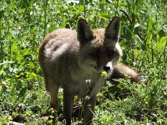 Zuheros, Espanha: La renard Pichu