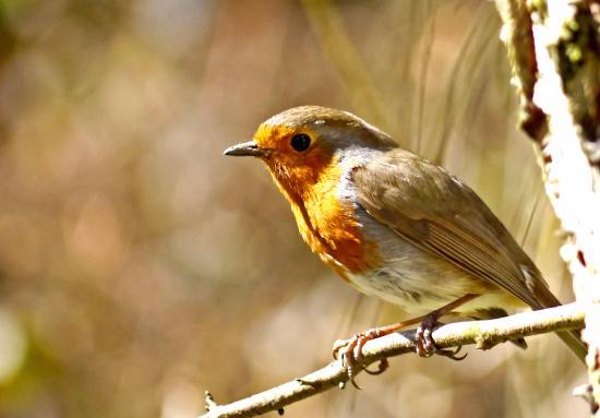 Cromwell Bottom Nature Reserve: A posing Robin