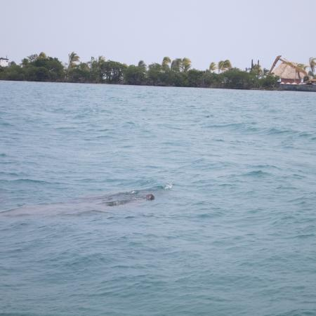 Placencia, Belice: manatee with baby