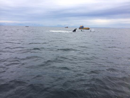 Richmond, Kanada: happy whales flopping about