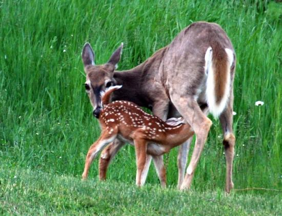 Jackson Hole, Ουαϊόμινγκ: spring is in the air.... and the fawns will soon be here